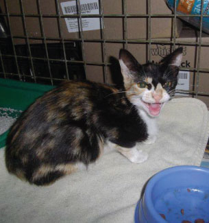 fairview tortie kitten